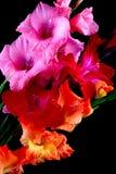Gladioli closeup Stock Photos