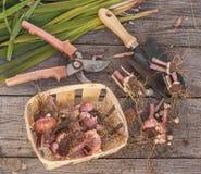 Gladioli dug in autumn Stock Photo