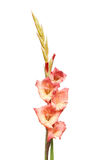 Gladioli flower spike Royalty Free Stock Photography