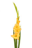 Gladioli flower spike Stock Photos