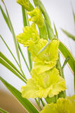 Gladioli flowers on green meadow Royalty Free Stock Image