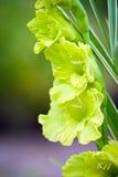 Gladioli flowers on green meadow Stock Photos