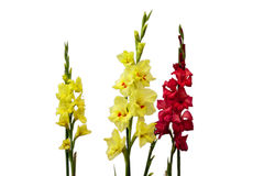 Gladioli flowers Stock Images