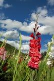 Gladioli op Gebied royalty-vrije stock foto's