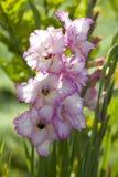 Gladioli roses sur le fond vert Photographie stock libre de droits
