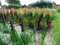 Gladioli or Sword Lily. Rows of gladioli or sword lilies Stock Photos