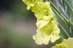 Gladioliblumen auf grüner Wiese Stockfotografie