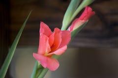 Gladiolis i blom fotografering för bildbyråer