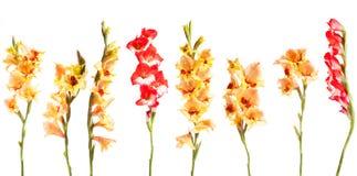 Gladiolius-Blumen in einer Linie Stockfoto