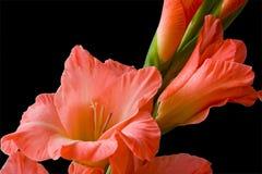 Gladiolo Foto de archivo libre de regalías