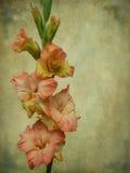 Gladiolo Imagenes de archivo