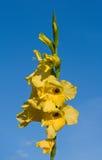 Gladiolo amarillo Fotos de archivo