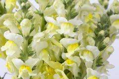 Gladiolo amarillo Fotografía de archivo libre de regalías