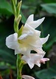 Gladiolo blanco Gandavensis Imagenes de archivo