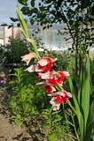 Gladiolo crecido en el jardín foto de archivo libre de regalías
