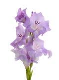Gladiolo de la lila imagen de archivo libre de regalías