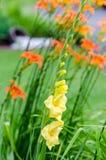 Gladiolo di giallo di Brialliant fotografia stock