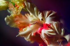 Gladiolo hermoso Imágenes de archivo libres de regalías