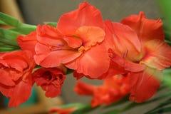 Gladiolo naranja-rojo foto de archivo