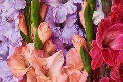 Gladiolo púrpura, anaranjado y rojo Fondo fotos de archivo libres de regalías
