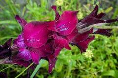 Gladiolo porpora, primo piano, letto, germoglio, naturale, fiore Fotografia Stock Libera da Diritti