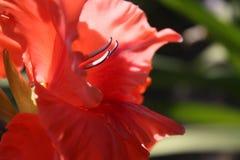 Gladiolo rojo en el jardín Imagenes de archivo