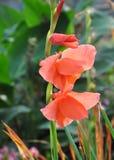 Gladiolo rojo Gandavensis Imagen de archivo libre de regalías