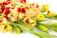 Gladiolo rojo y amarillo colorido horizontal Fotos de archivo libres de regalías