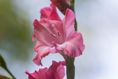 Gladiolo rosado en la plena floración Fotografía de archivo libre de regalías