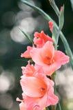 Gladiolos Foto de archivo libre de regalías