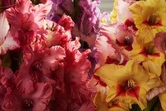 Gladiolos amarillos y rosados Fondo fotografía de archivo