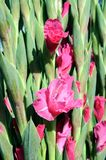 Gladiolusów kwiaty Zdjęcia Stock