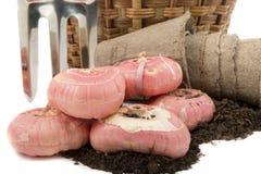 Gladiolus żarówki z ogrodowymi świntuchami i mszarników garnkami na odżywka mszarniku fotografia royalty free