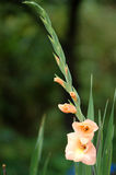 gladiolus άνθισης Στοκ φωτογραφία με δικαίωμα ελεύθερης χρήσης