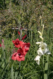 Gladiolus κάτω από τον κρύο ήλιο φθινοπώρου Στοκ εικόνα με δικαίωμα ελεύθερης χρήσης