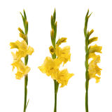 gladiolus κίτρινο Στοκ Φωτογραφία