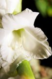 gladiolus λουλουδιών Στοκ Εικόνα