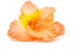 Gladiolus που απομονώνεται Στοκ Εικόνες