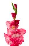 gladiolus Стоковое фото RF