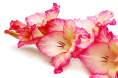 Gladiolus Royalty Free Stock Photo