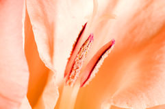 Gladiolus Royalty Free Stock Images