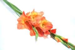 gladiolus Obraz Royalty Free
