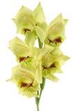 Gladiolus Lizenzfreies Stockbild