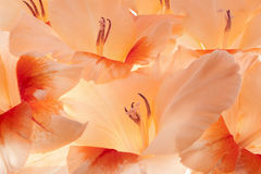 Gladiolus Stock Photography
