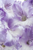 Gladiolus photo stock