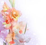 Gladiolus photos stock