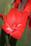 gladiolus Стоковое Изображение RF