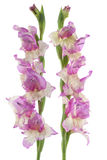 Gladiolus. Studio Shot of Lilac and Yellow Colored Gladiolus Flowers Isolated on White Background. Large Depth of Field (DOF). Macro. Symbol of Reminisce, Love royalty free stock photos