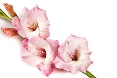 Gladiolus Zdjęcia Royalty Free