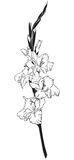 Gladiolus Стоковая Фотография